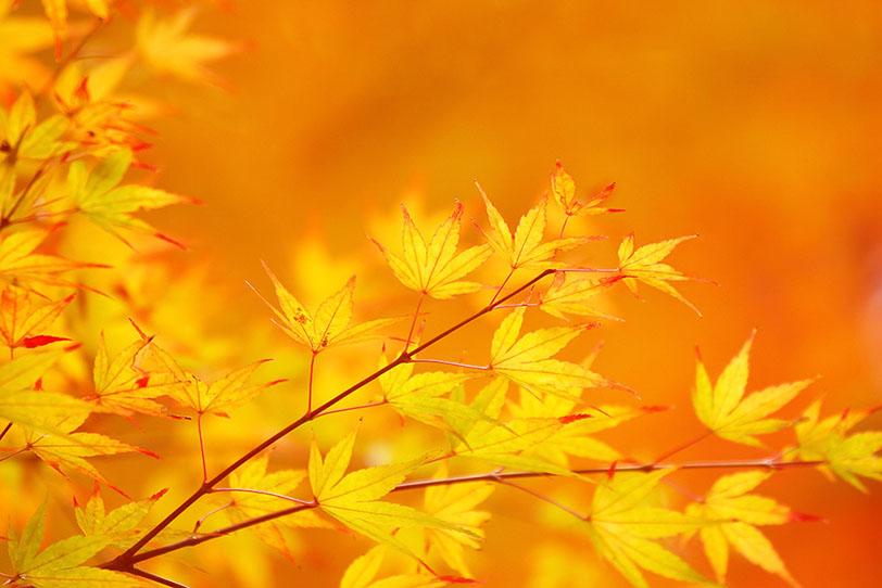 葉先が赤く染まり始めた黄葉の写真画像