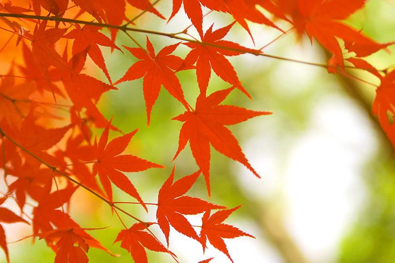 赤い紅葉と緑の背景の写真画像