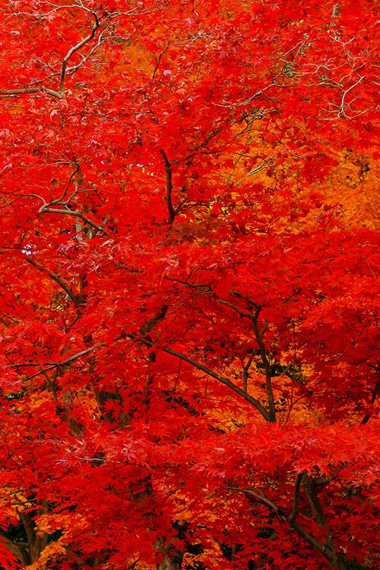 紅に染まった紅葉の背景の写真画像