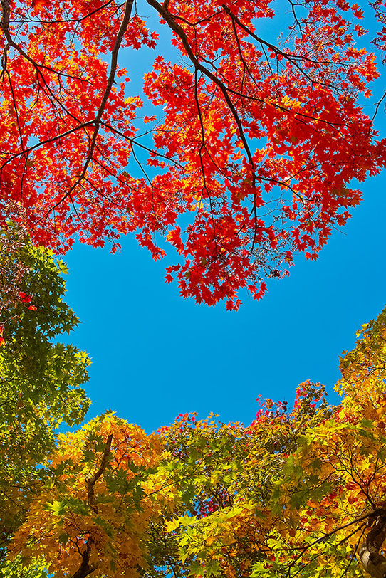 空と赤黄緑のモミジの葉の写真画像