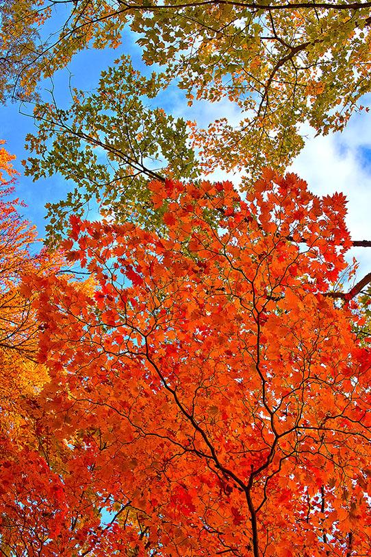 青空に伸びる赤い楓の葉の写真画像