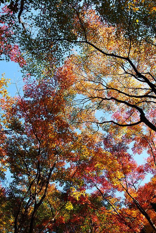 モミジの木の写真画像