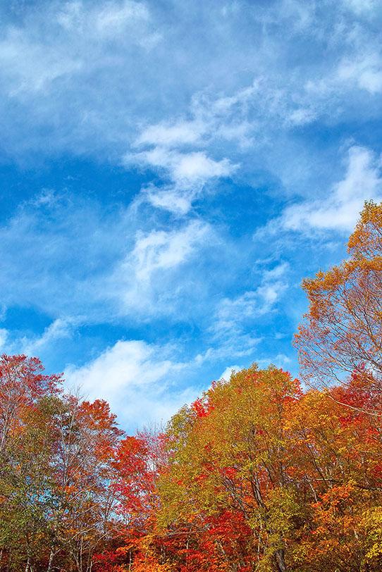「モミジの木」の写真素材を無料ダウンロード