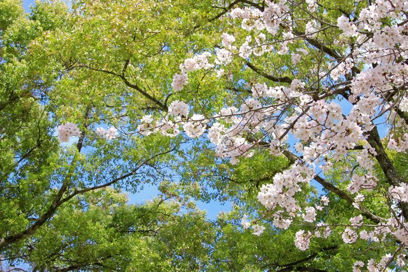 美しい新緑と桜の春景色の写真画像