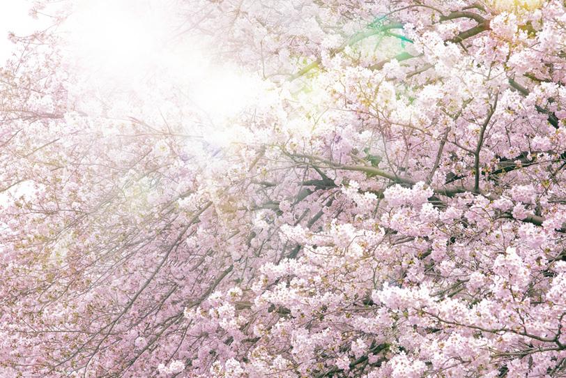 満開の桜と眩い太陽の光の写真画像