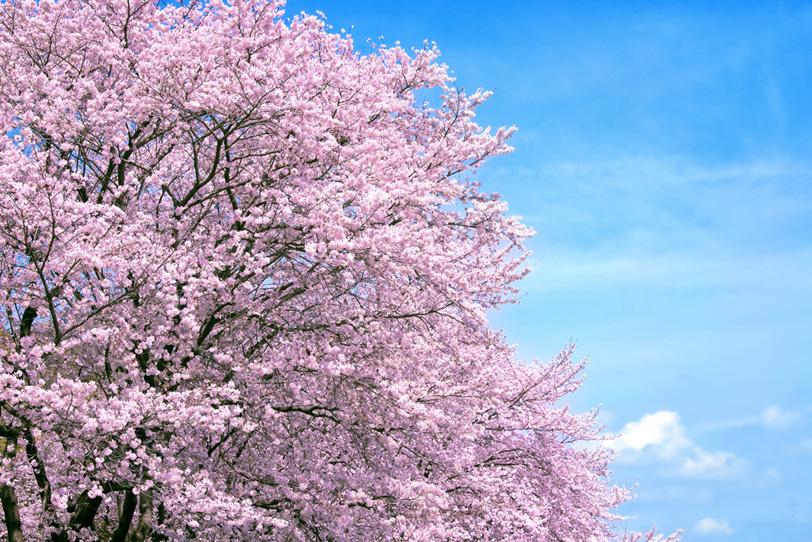 穏やかな春空と満開の桜並木の写真画像