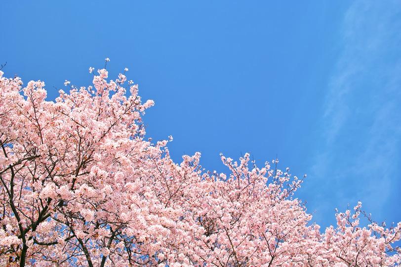 青空の下の薄紅色の桜並木の写真画像