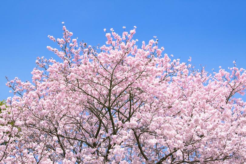 サクラの花と空に伸びるツボミの写真画像