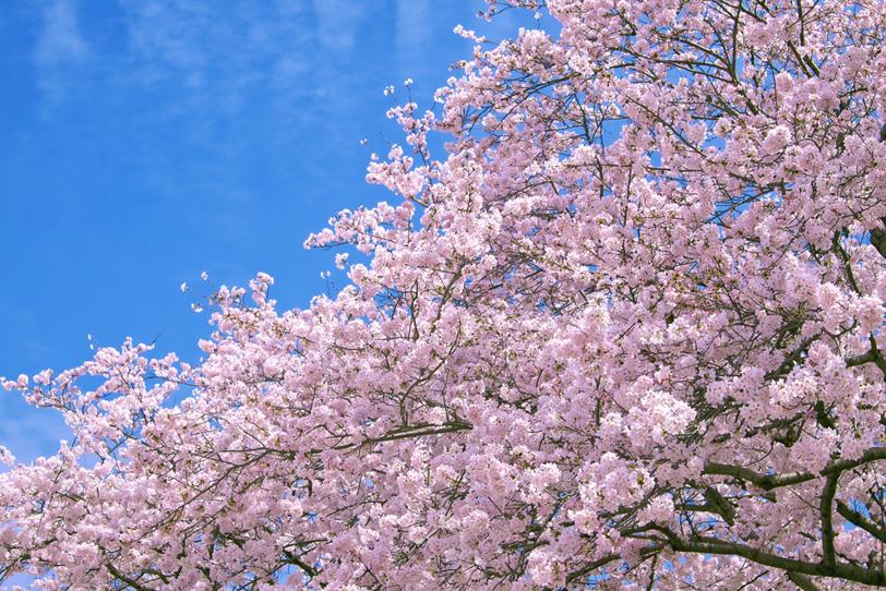 春空に咲き誇る満開の桜の写真画像