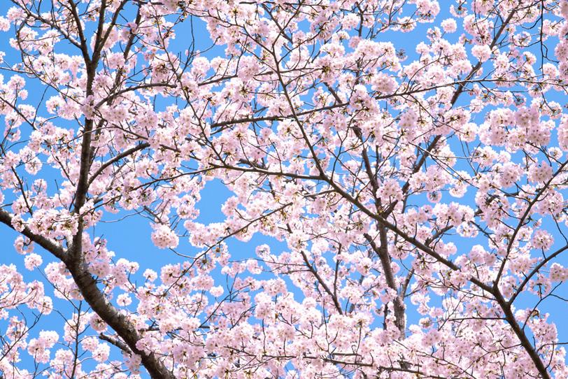 薄いピンクの花の桜背景の写真画像