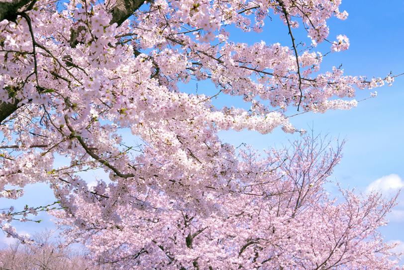 桜の花咲く穏やかな春の公園の写真画像