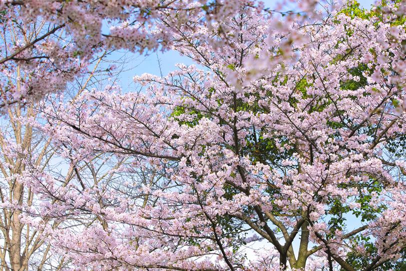 霞空と桜が咲く春の林の写真画像