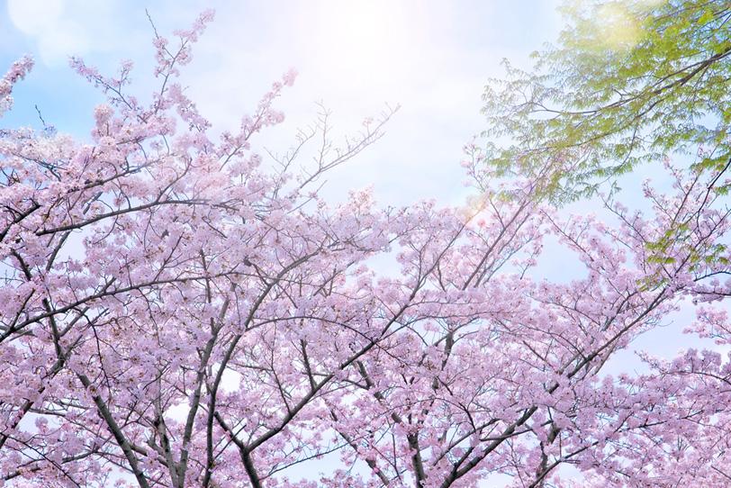 降り注ぐ春の陽射しと桜の写真画像