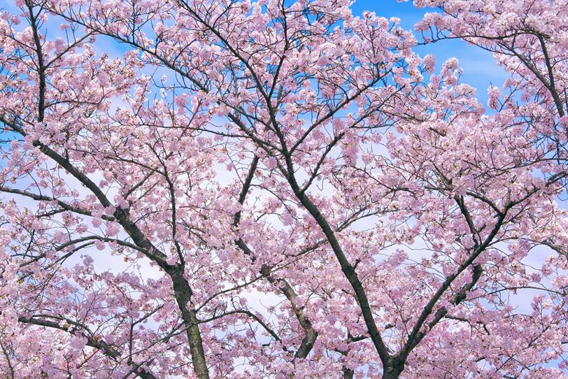青空に咲き誇るピンクの桜の写真画像
