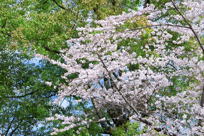 爽やかな緑葉に映える桜の花の写真画像