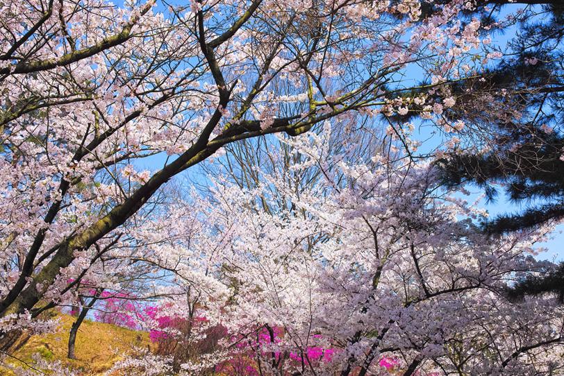 様々な色で溢れる春の桜林の写真画像