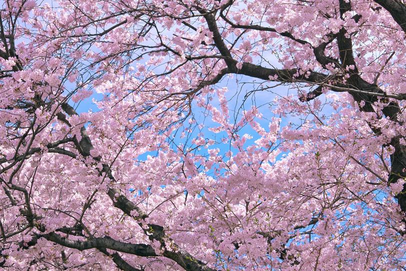 咲き誇る見事な桜の大木の写真画像