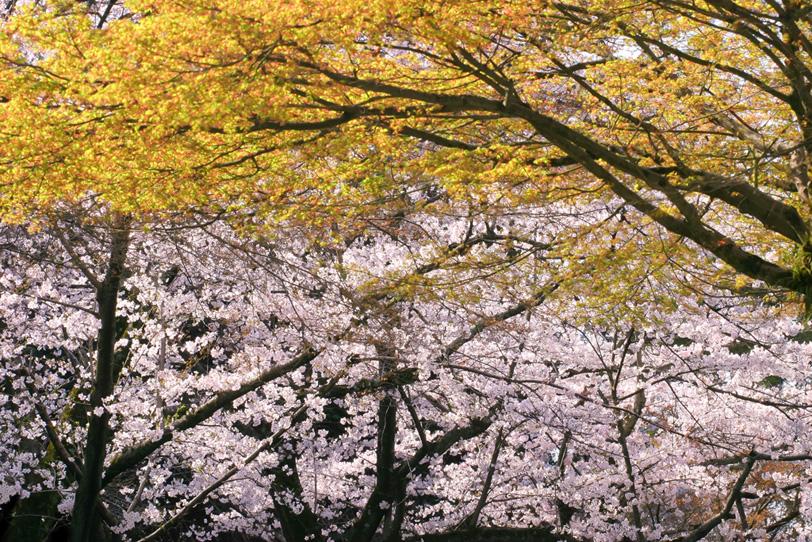 桜色と山吹色が美しい春山の写真画像