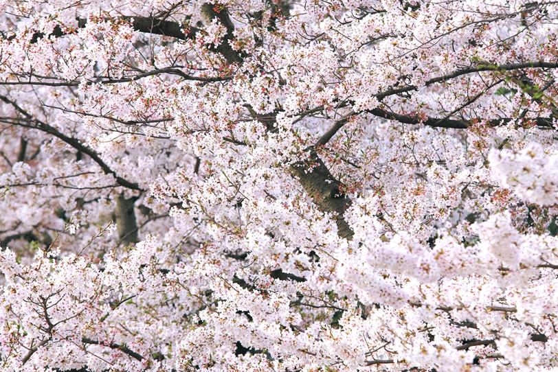 無数の花と蕾をつける桜の枝の写真画像