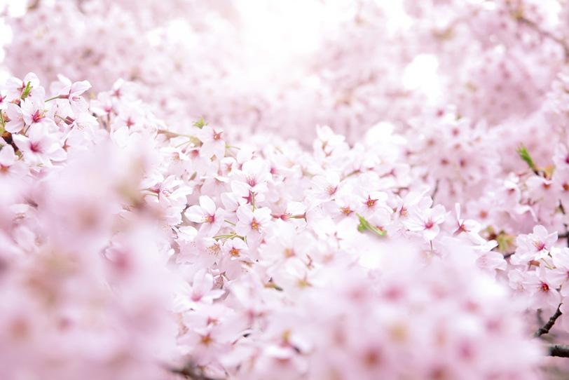 一面に咲く満開のサクラの写真画像