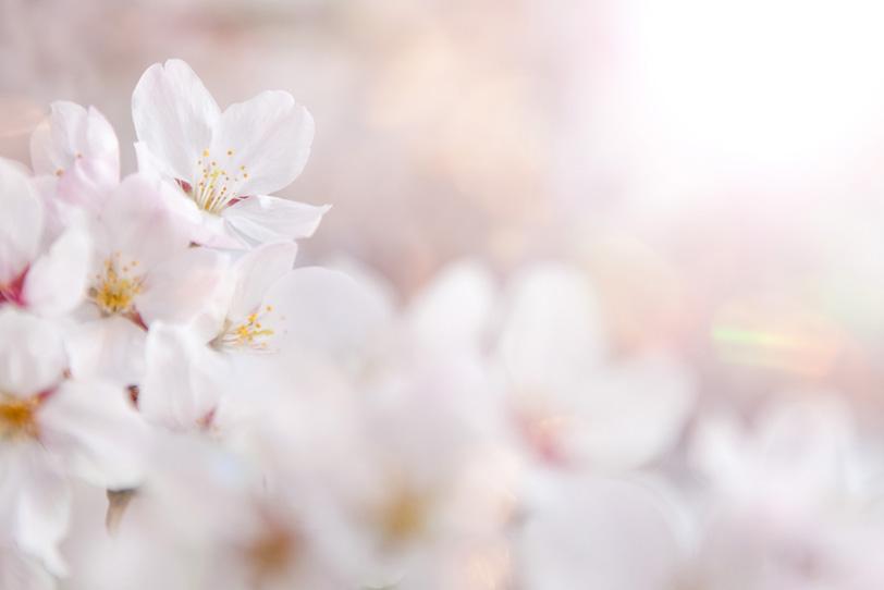 桜の花びらを照らす春の太陽の写真画像
