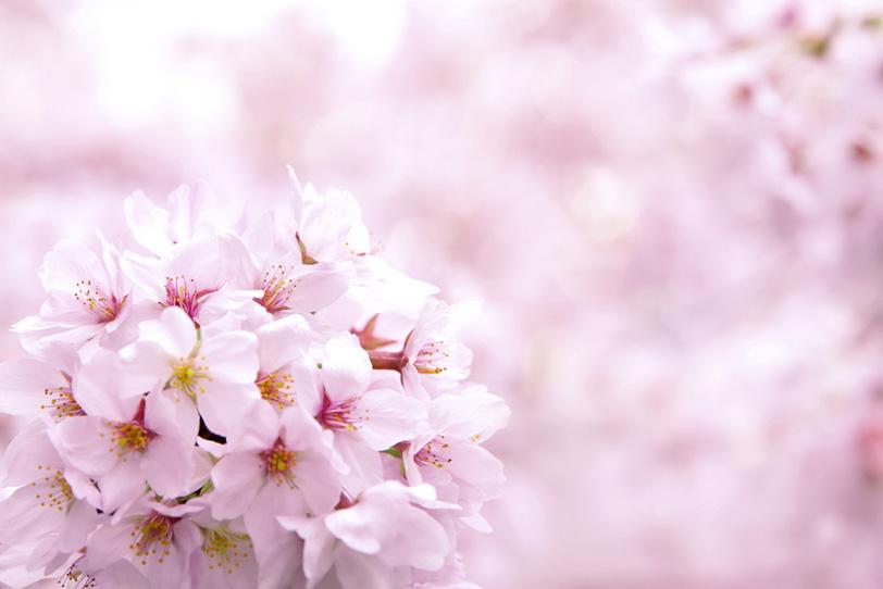 ピンクの桜の花の背景の写真画像