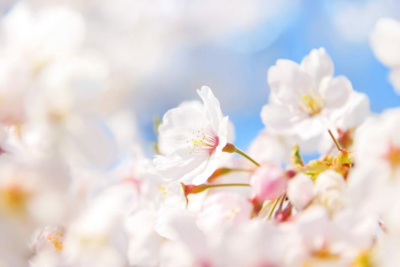 桜の花咲く新しい季節の写真画像