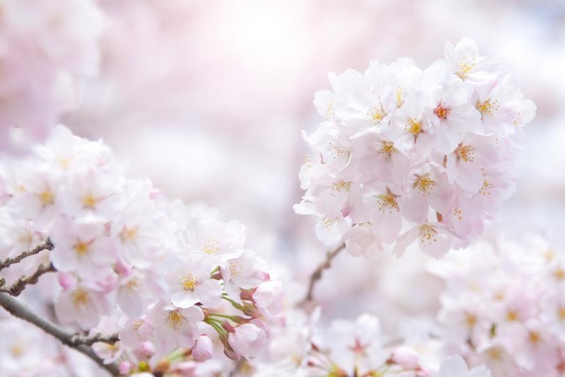 満開の桜の花と春の陽射しの写真画像