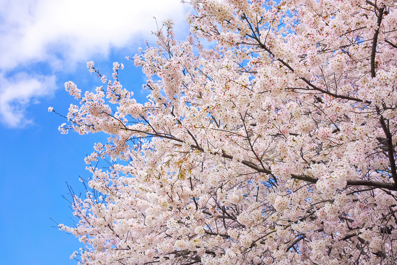 桜と青空の背景の写真画像