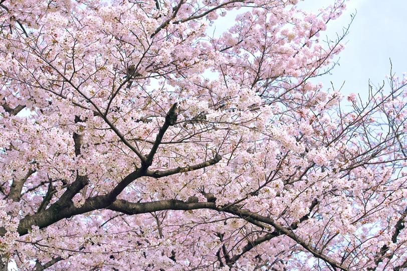 桜と薄曇りの空の写真画像