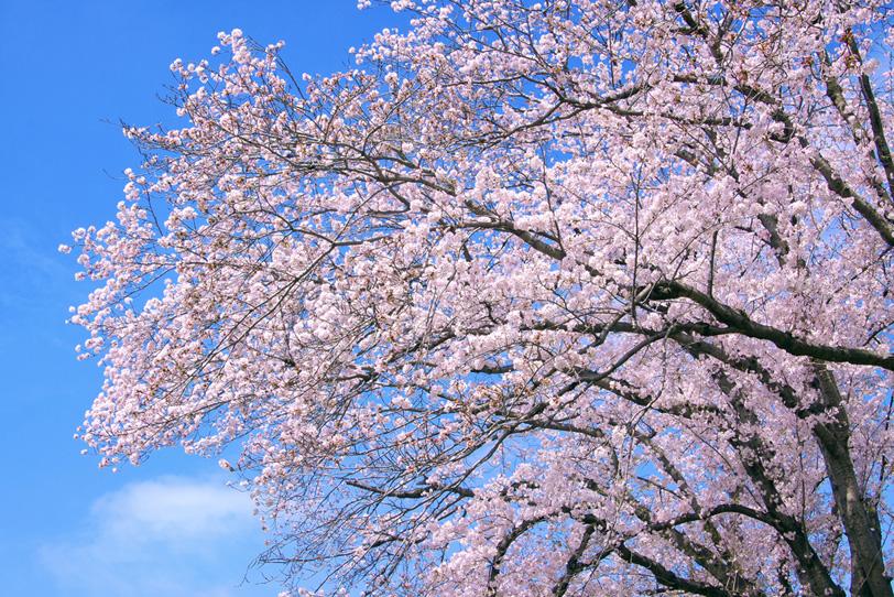 ピンクの花咲く桜の木の写真画像