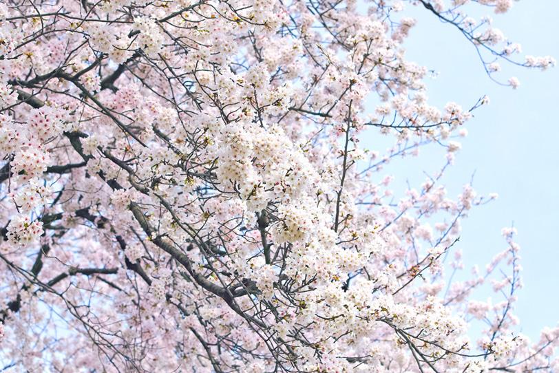 白い桜の花と白い空の写真画像