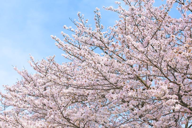 春の霞と桜の写真画像