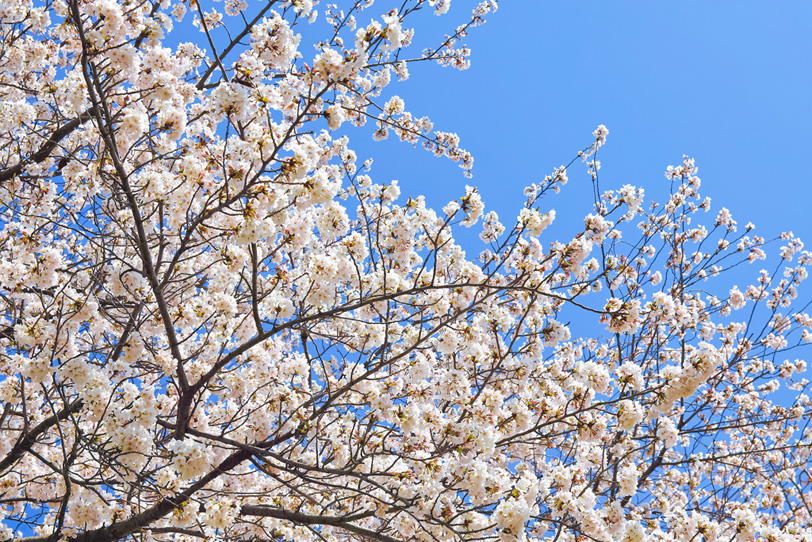 桜の木の写真画像