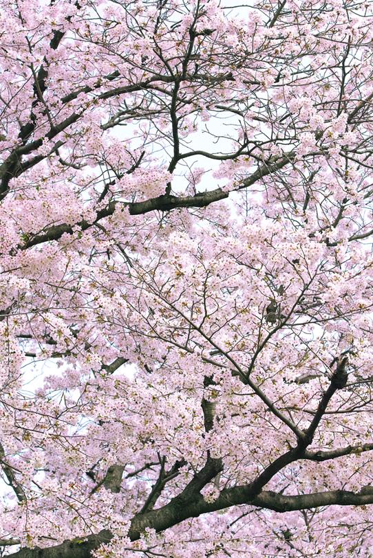 春の桜の写真画像