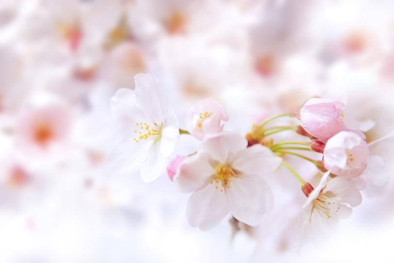 桜の花とつぼみの写真画像