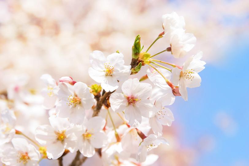 青空と桜の花びらの写真画像