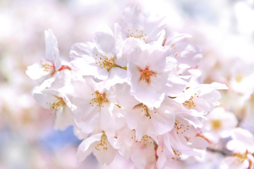 桜の白い花の写真画像