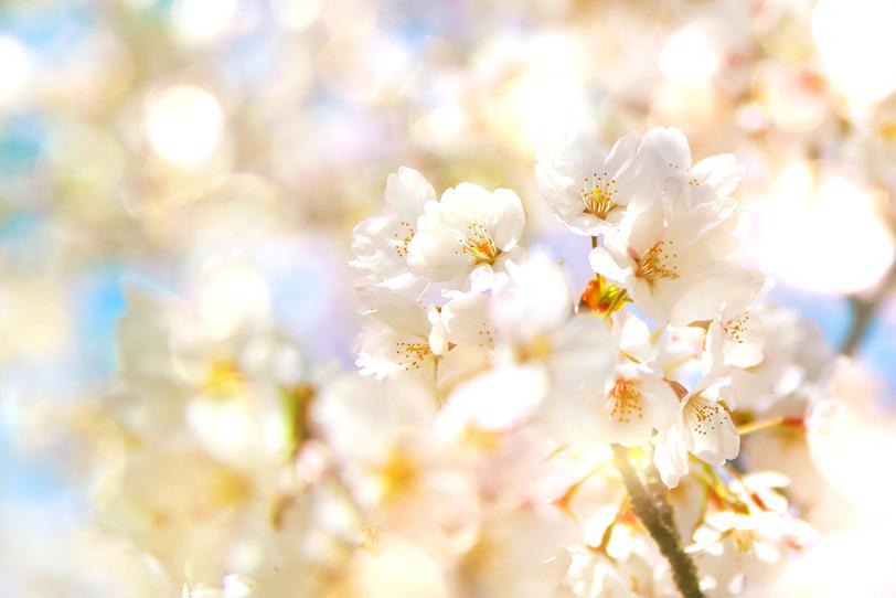 桜の花と輝く光の写真画像