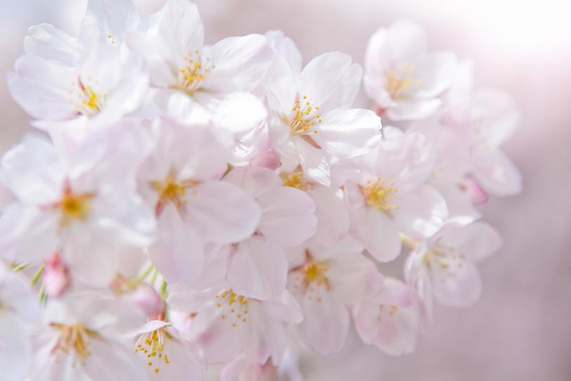 光に包まれる桜の花の写真画像