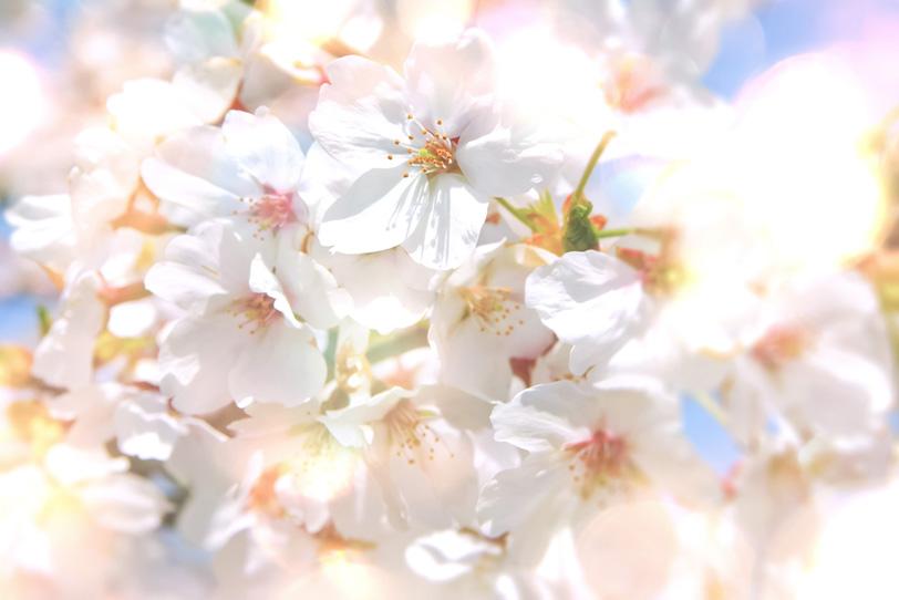 キラキラの光と桜の写真画像