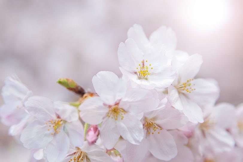 太陽の光と桜の花びらの写真画像