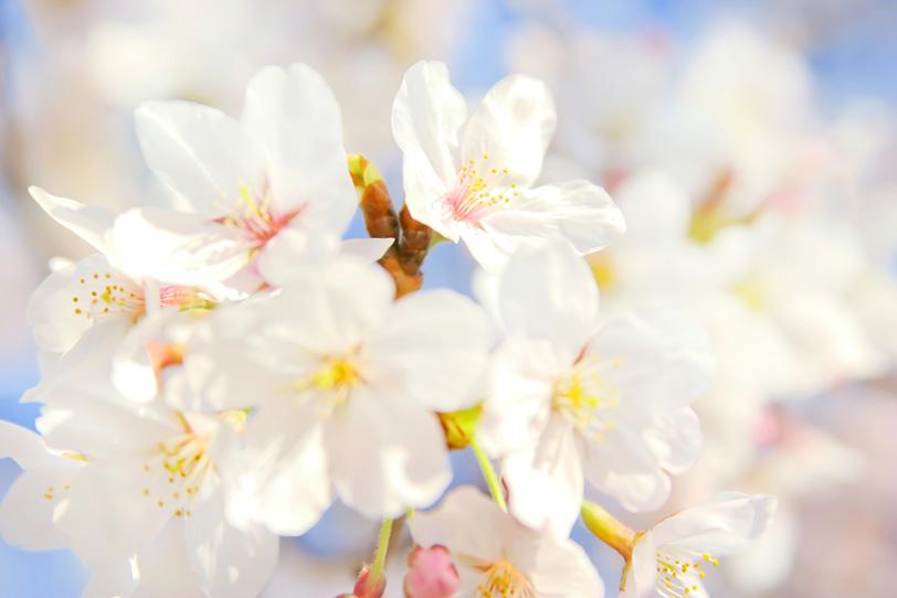 桜の花びらと青空の写真画像