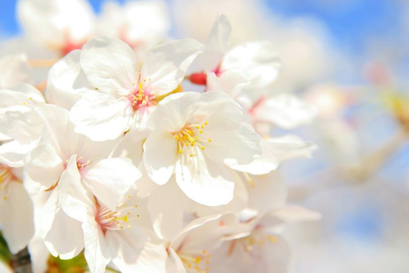 空と白い桜の花びらの写真画像
