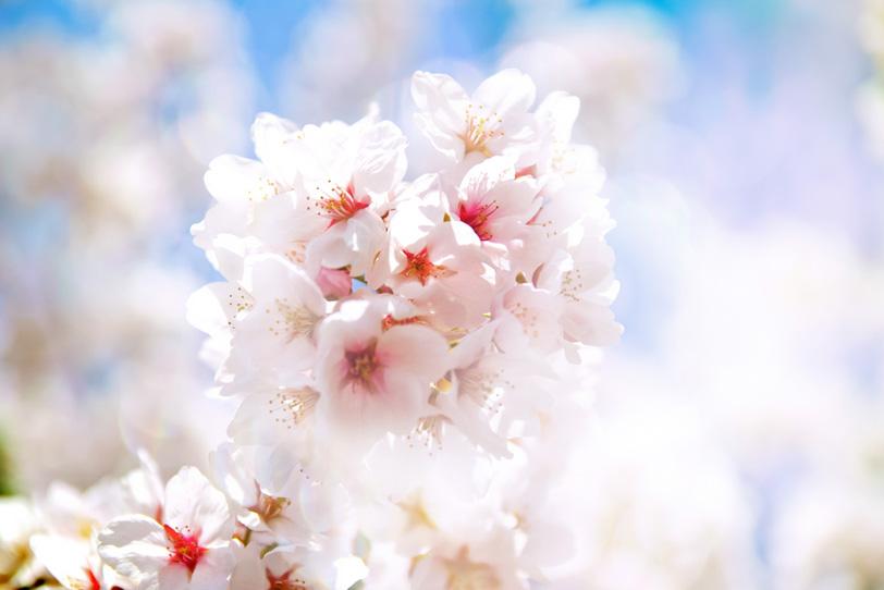 光に透ける桜の花の写真画像