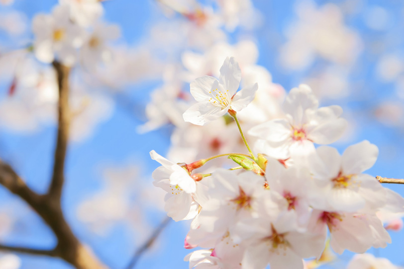 桜の花と青い空の背景の写真画像