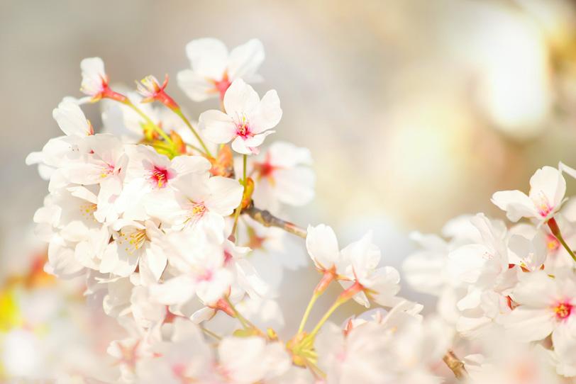 桜の花びらの写真画像