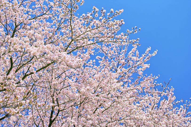 綺麗な桜の写真画像
