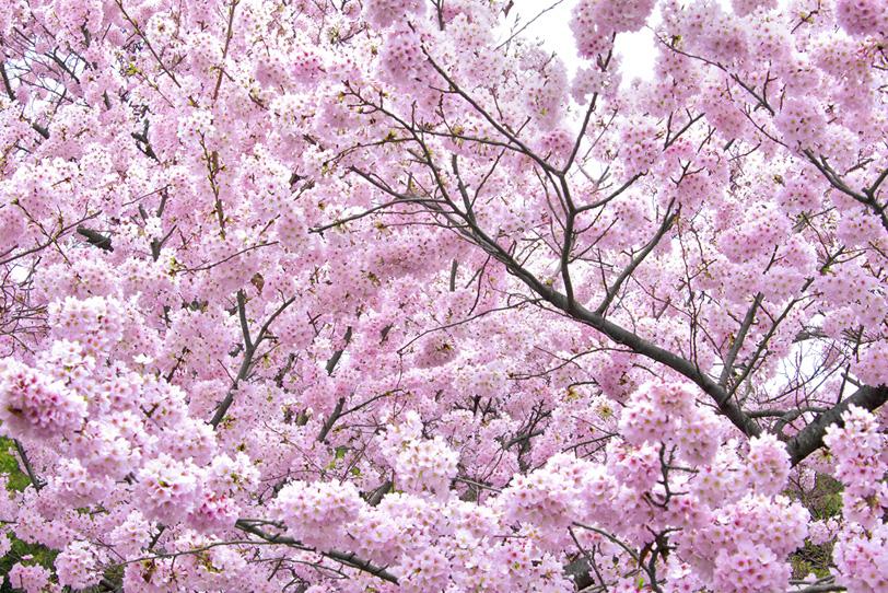 桜・さくらの写真画像