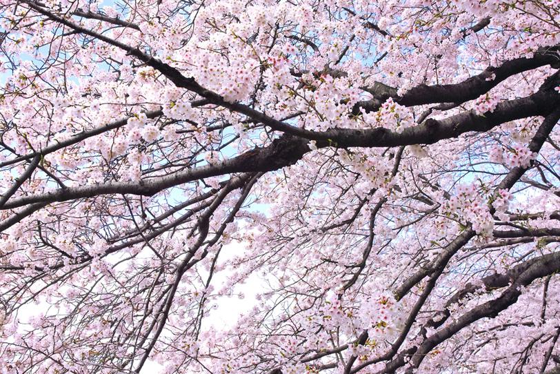美しい桜の写真画像